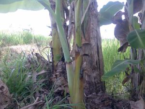 batang pisang bercabang